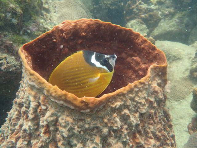 Weibels butterfly fish