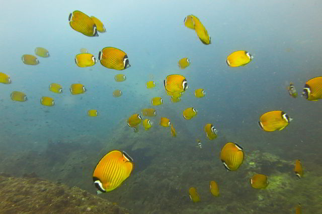 Weibels butterfly fish, Shark island, Koh Tao