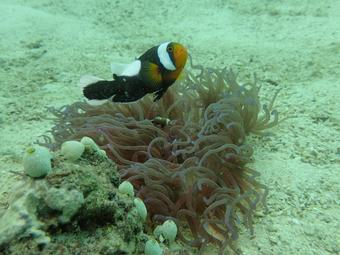 Symbiotic mutualisms between Clownfish and anemone on the dive site White Rock on Koh Tao