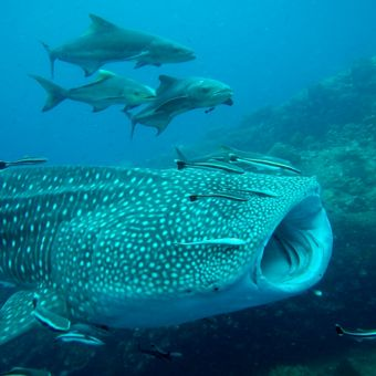 Whaleshark on the divesite Chumphon Pinnacle