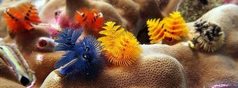 Little underwater beauty on Koh Tao, Thailand: Christmas Tree Worms make dive site Twins so colorful