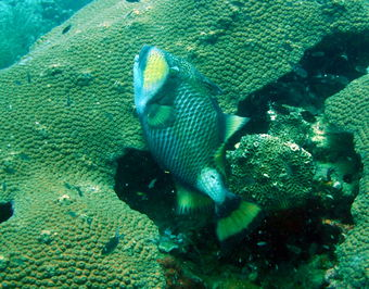 Diving in Koh Tao on Japanese Garden with Titan Triggerfish